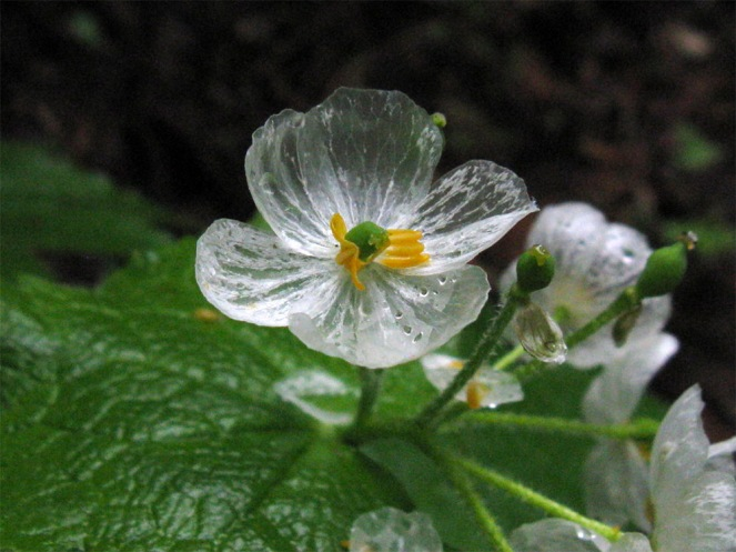 fleur-transparente-pluie-eau-blanche-03